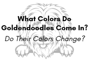 What Colors Do Goldendoodles Come In?