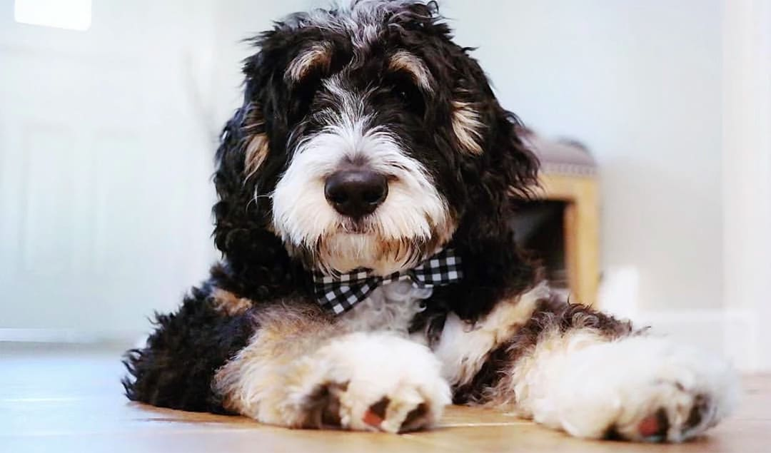 What Is An Australian Bernedoodle How Are They Different