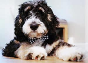 What Is An Australian Bernedoodle?