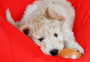Why Do Goldendoodles Cost So Much?