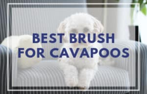 Best Brush for Cavapoos