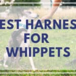 #1 Best Harness For Whippets, Greyhounds, and Sighthound Dogs