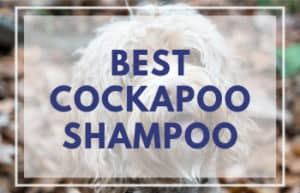 Best Shampoo for Cockapoos
