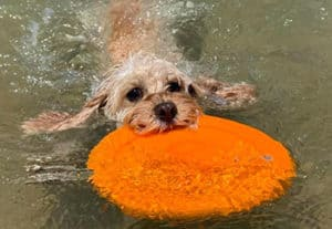 Can Cavapoos Swim?