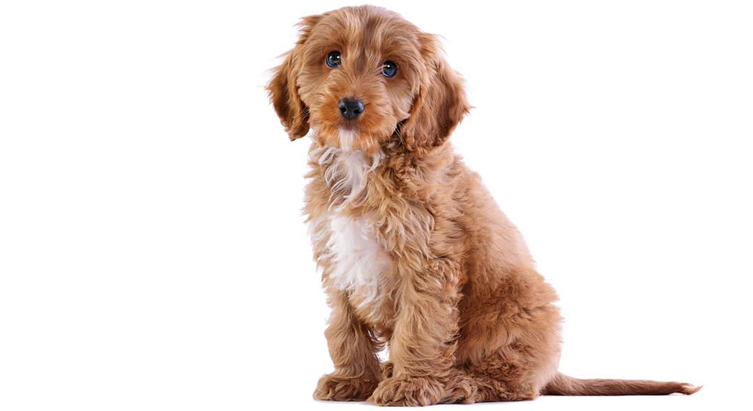 Can Cockapoo Puppies Be Left Alone?