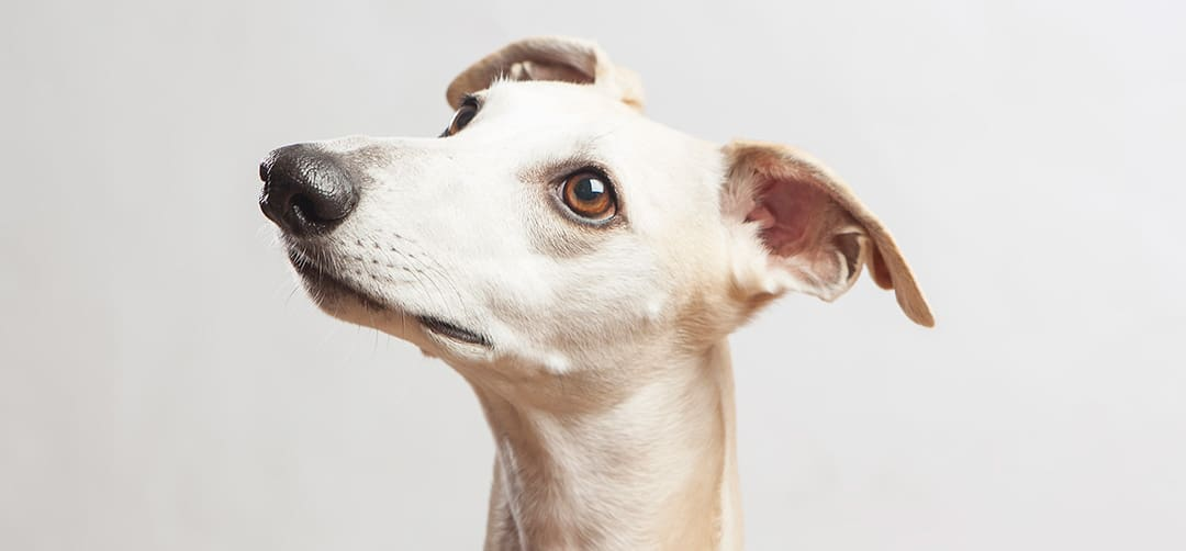 Do Whippets Shed?