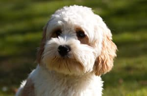 How Big Will My Cavapoo Get?