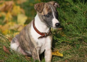 How Much Do Whippet Puppies Cost?