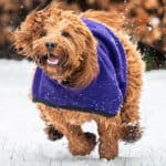 Cockapoo Exercise Requirements - Puppy & Adult Cockapoo Needs