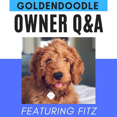 How Much Do Goldendoodle Puppies Cost? Real World Examples