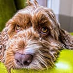 What Is A Multi-Generational Cockapoo? Are They The Best?