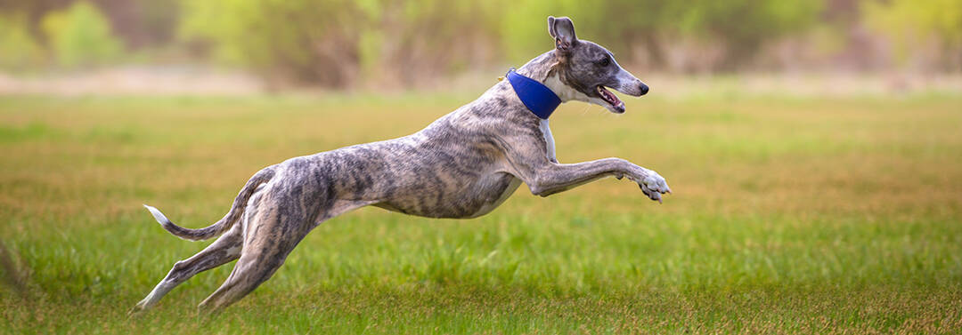 Whippet Breed Overview