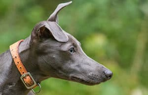 Why Do Whippets Have Special Collars?