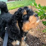 Bernedoodle Owner Interview: Featuring Duc the Mini F1 Bernedoodle