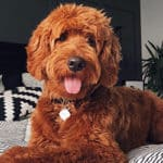 Goldendoodle Owner Interview: Featuring Fitz the Red F1 Goldendoodle
