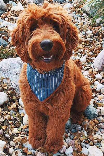 Fitz the Red Goldendoodle-fitz_thedood