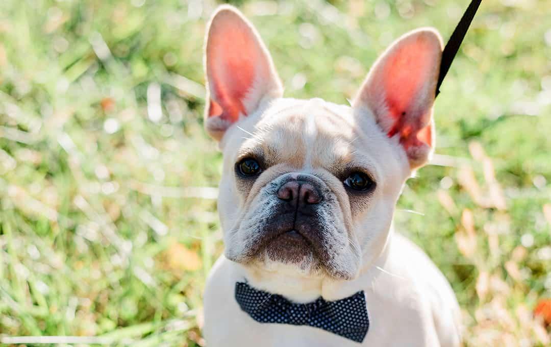 Cute French Bulldog wearing a bowtie