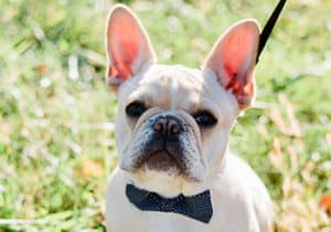 Cute French Bulldog wearing a bowtie