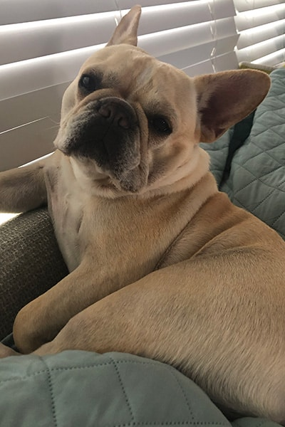French Bulldog lounging on the back of a couch