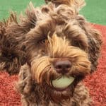 Labradoodle Owner Interview: Featuring Spooner the Mini Australian Labradoodle