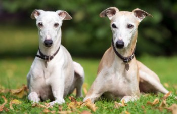 Can Whippets Be Left Alone