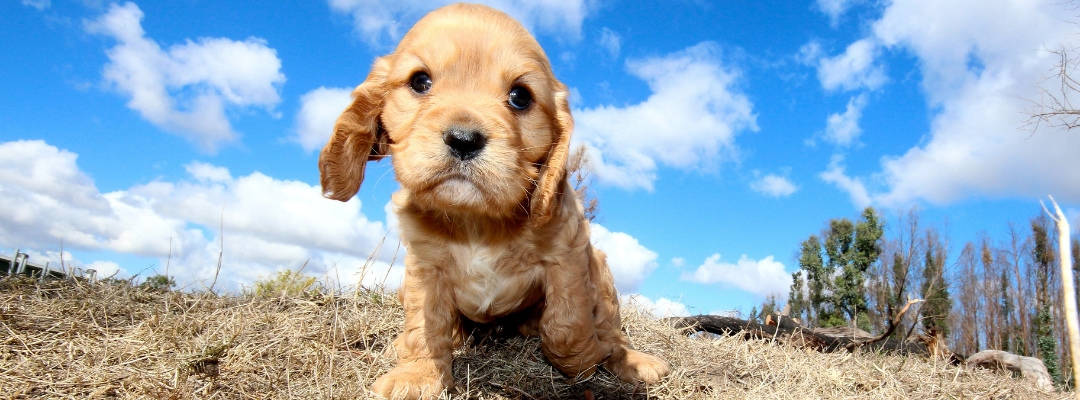 Find Us Cavapoo Breeders A Complete List By State Region