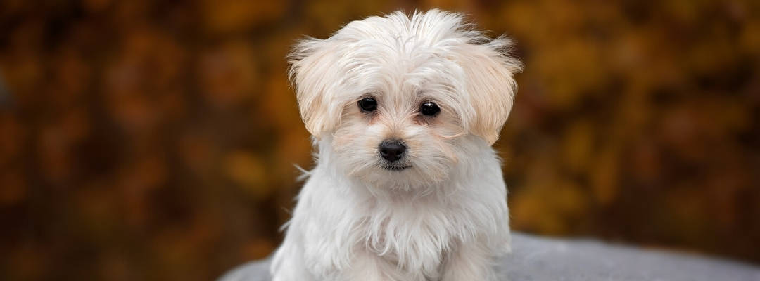 Maltese with brown tear stains
