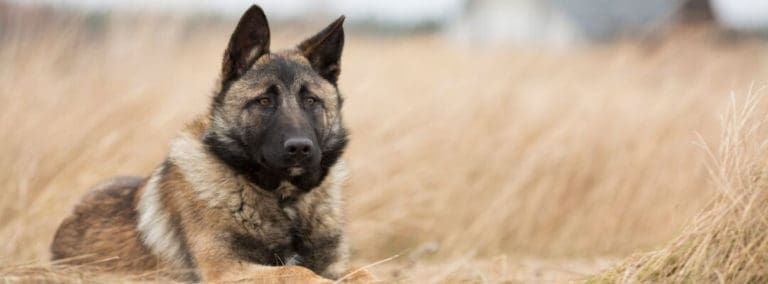 How to Train a Good Guard Dog or Watchdog