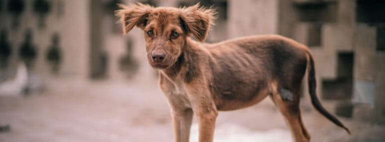 A malnourished dog that needs help gaining weight.