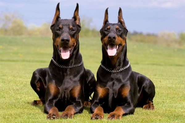 Two Doberman Pinschers sitting on grass