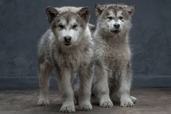 Alaskan Malamute puppies at 4-months old