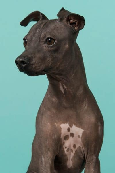 American Hairless Terrier with spotted chest