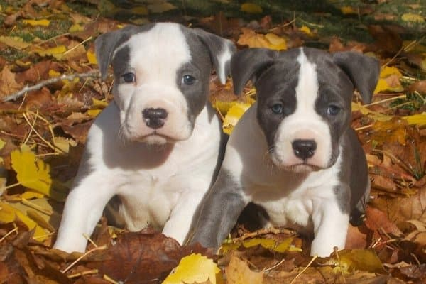 American Staffordshire Terrier Blue Eyes