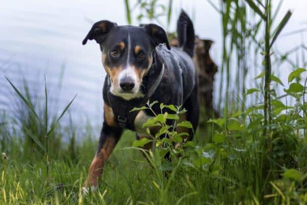 Appenzeller Sennenhund in tall grass