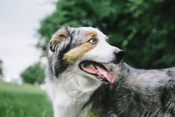 Australia Shepherd Dog with Blue Eyes