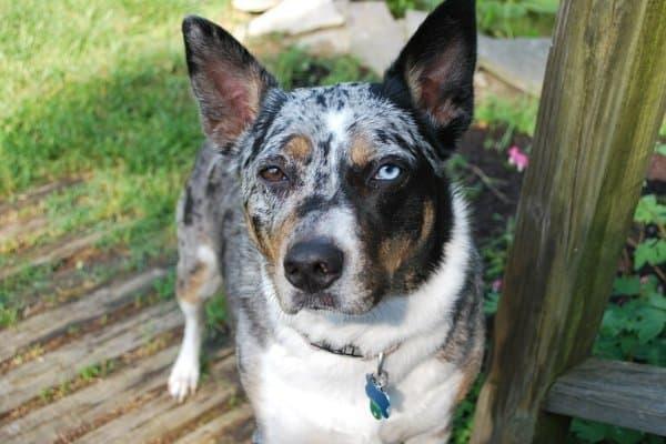 Australian Cattle Dog with Blue Eye