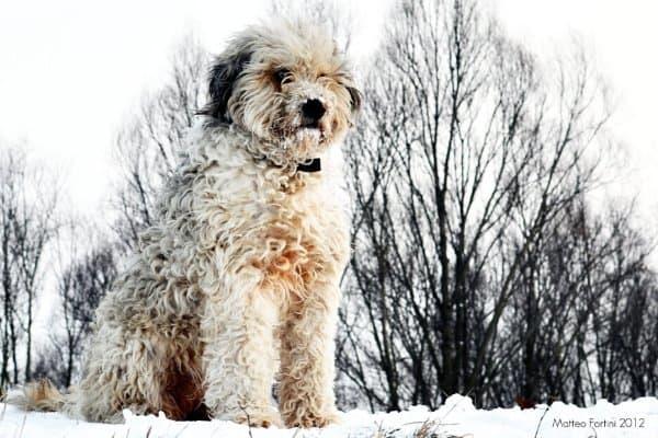 Bergamasco Sheepdog in the snow