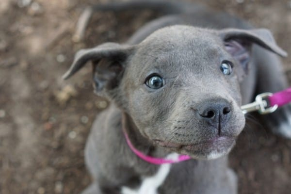 Blue Nose Pit puppy looking up