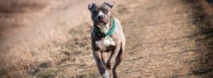 Blue Nose Pitbull running in a field