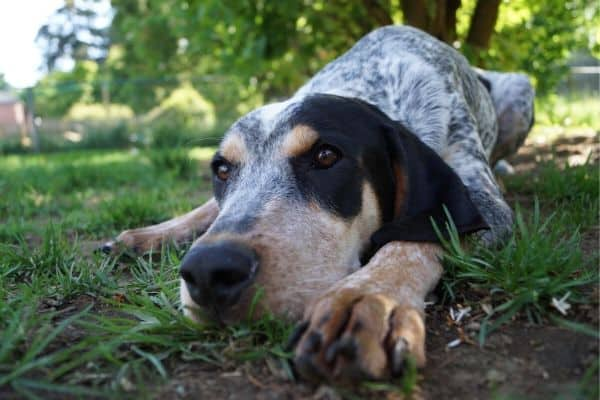 Bluetick Coonhound laying in grass