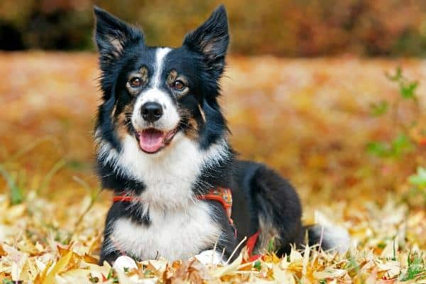 Border Collie laying in leaves