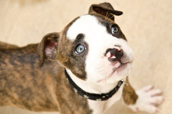 Boxer Dog with Blue Green Eyes
