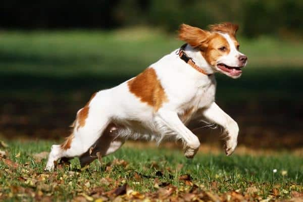 Brittany dog running through a park