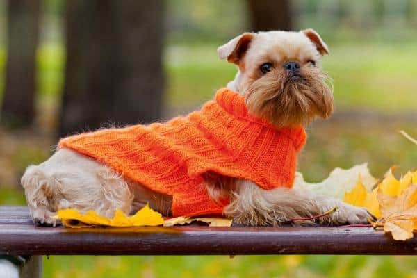Brussels Griffon dog wearing a sweater