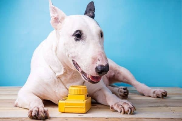 Bull Terrier with toy camera