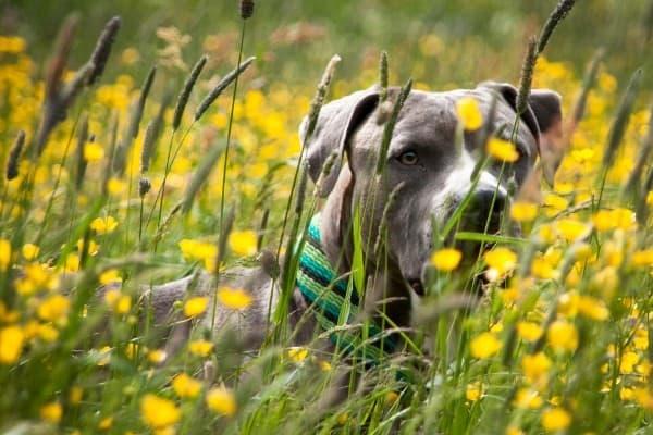 Bully Dog in Field of Flowers