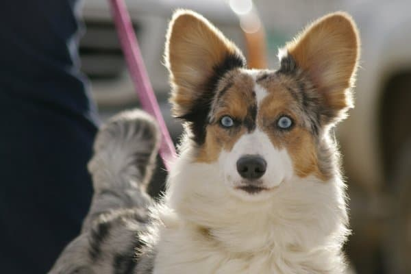 Cardigan Corgi with Blue Eyes