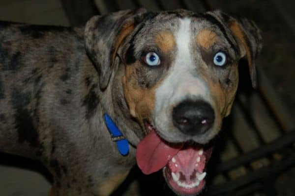 Catahoula Leopard Dog with tongue out and blue eyes