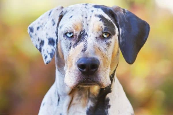 Catahoula Leopard Dog with blurred background