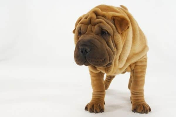 Very wrinkly Chinese Shar Pei
